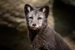 Silberfuchs (Roman Achrainer) Tags: silberfuchs fuchs raubtier tierpark hellabrunn achrainer natur