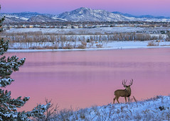 Surveying the Scene (mclcbooks) Tags: deer animal animals antlers lake pink sky reflections rockies rockymountains dawn sunrise daybreak landscape colorado lakechatfield chatfieldstatepark winter snow buck
