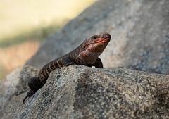 Giant-plated-lizard (Peter Warne-Epping Forest) Tags: gerrhosaurusvalidus giantplatedlizard reptile southafrica peterwarne lizard coldblooded poikilothermic sabisands
