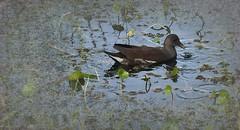 Juvenile Coot (paulgarf53) Tags: bird coot juvenile waterbird florida nature lakewoodruffnwr nikon d700 150mmf28exdgoshsmapomacro