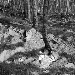 Rocky Pine (PhrozenTime/WAHLBRINKPhoto) Tags: geography europe french france brittany illeetvillaine poligné tertregris river valleedusemnon forest semnonvalley semnon timeofyear autumn fall bw blackandwhite bnw nb biology plant tree conifer evergreen pine pinuspinaster bluff cliff limestone rocks rockface clinging breakout illeetvilaine35