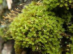 Zygodon conoideus (EmilieAncolie) Tags: bryophytes moss mosses mousses musgos flore flora nature biodiversisté