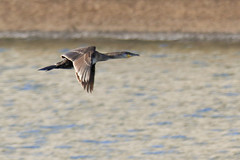 767A6449 (LindaSC) Tags: greatcormorant juvenile
