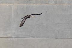767A6492 (LindaSC) Tags: greatcormorant juvenile