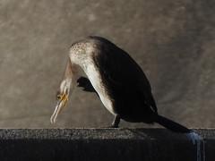 DSCN0282 (LindaSC) Tags: greatcormorant juvenile