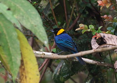 Yellow-scarfed Tanager (Iridosornis reinhardti) (Gavin Edmondstone) Tags: iridosornisreinhardti yellowscarfedtanager tanager bird owletlodge peru