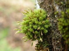 Ulota bruchii (EmilieAncolie) Tags: bryophytes mosses moss mousses flora flore ulota nature biodiversité