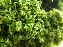 Metzgeria furcata (EmilieAncolie) Tags: bryophytes hépatique liverworts flore flora nature biodiversité