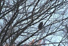 Conowingo Dam ~ Eagle watching (karma (Karen)) Tags: conowingodam harfordco maryland birds eagles branches hww