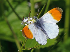 Orange Tip Butterfly (eric robb niven) Tags: ericrobbniven scotland dundee tay orange tip butterfly