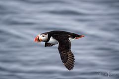Puffin in Flight (RH Miller) Tags: rhmiller reedmiller wildlife bird puffin atlanticpuffin flight arctic svalbard