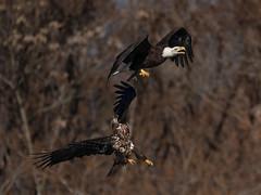 Conowingo Eagles (Tim Devine Photography) Tags: sonya7riii ilce7rm3 sonyfe100400mmf4556gmoss sony14xtc eagles fish conowingo conowingodam raptor maryland