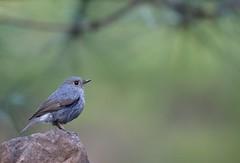 鉛色水鶇 (mikleyu) Tags: 鳥 動物 自然