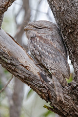Tawny Frogmouth (Alan Gutsell) Tags: tawnyfrogmouth tawny frogmouth podargusstrigoides mountcarbine jar nightjar caprimulgiformes nocturnal queenslandbirds queensland australianbird birdsofaustralia alan wildlife nature canon