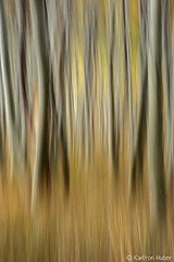 2019 Fall Colors - Aspen Grove Abstract_8422 (www.karltonhuberphotography.com) Tags: 2019 abstract aspengrove blurred forest grass impressionistic intentionalblur intentionalcameramovement karltonhuber lines mystery pattern treetrunks trees