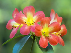 Rhododendron   Flower, Fairchild Tropical Botanic Garden. (pedro lastra) Tags: panasonic leica 100400mm g9 micro 43 four thirds