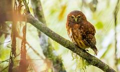 Andean Pygmy-Owl (eBird.org) Tags: ebirdorg ebird birds birding conservation citizen science data avifauna macaulay library cornell lab ornithology