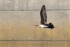 767A6501 (LindaSC) Tags: greatcormorant juvenile
