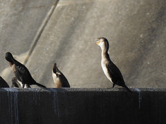 DSCN0288 (LindaSC) Tags: greatcormorant juvenile