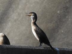 DSCN0291 (LindaSC) Tags: greatcormorant juvenile