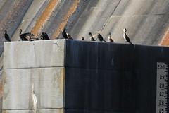 767A6072 (LindaSC) Tags: greatcormorant juvenile doublecrestedcormorant
