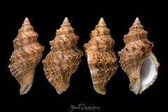 Nucella lamellosa (Gmelin, 1791) (Gabriel Paladino Photography) Tags: species whelk wrinkled seasnail frilled nucella dogwinkle lamellosa frilleddogwinkle wrinkledpurplewhelk marine shell snail animalia mollusca gastropoda gastropod mollusk lamellae caenogastropoda muricidae rocksnail murexsnail hypsogastropoda neogastropoda muricoidea ocenebrinae buccinumlamellosa murexcrispata murexferrugineus murexlactuca polyplexrugosus purpuraplicatus purpuraseptentrionalis sistrumferrugineus usa concha caracola caracol malacologia malacology conchology thaiscymica thaisfranciscana thaishormica thaisneptunea thaissitkana trophonlamellosus gabrielpaladinoibañez