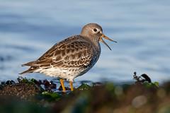 Rock Sandpiper (eBird.org) Tags: ebird front page birds birding conservation ebirddata