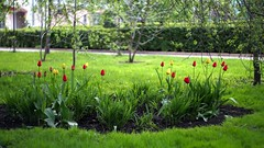 Young tulips (znamenshchikov) Tags: barnaul altai siberia park green tulips flowers spring 2018 sonya6000 helios44m4 nature grass bokeh 58mm
