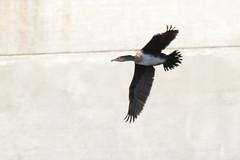 767A6496 (LindaSC) Tags: greatcormorant juvenile