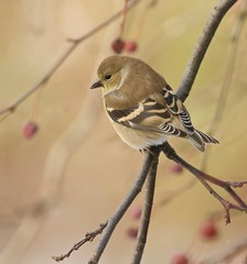 Watercolour Impression (Slow Turning) Tags: spinustristis americangoldfinch bird perched tree branch crabapples fruit autumn fall southernontario canada