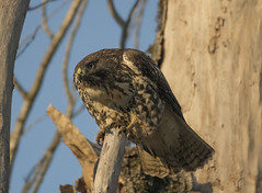 Resident raptor (woodwindfarm) Tags: redtailed hawk