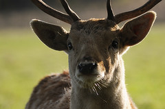 Look in to my eyes (andy_AHG) Tags: wildlife autumn stag fallowdeerbuck antlers animals nikond300s yorkshire