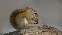 Nuts (Paul McGoveran) Tags: nature nikon500mmf4 nikond850 norfolkcounty nut portdover silverlake snack squirrel coth5