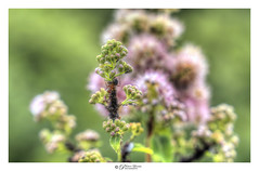 Ant On A Plant (Pearce Levrais Photography) Tags: ant bug plant flower boket macro closeup sony a7r3 hdr