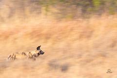 Panning a Painted Wolf Hunt (Glatz Nature Photography) Tags: africa animal botswana khwaicamp nature nikond850 wildanimal wildlife okavangodelta okavango paintedwolf africanwilddog capehuntingdog lycaonpictus panblur pan mammal hunt sprint