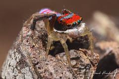 Male Maratus splendens. (F.Hendre) Tags: maratus maratussplendens jumpingspider salticidae spider arachnid macro stack
