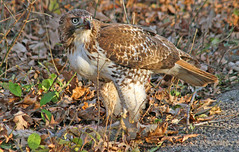 Red Tail Love (marylee.agnew) Tags: redtail hawk beauty close leaves ground bird nature wildlife urban
