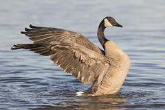Canada Goose wing flap (Mawrter) Tags: canadagoose goose bird avian flap stretch wing wings bath bathing nature wild wildlife specanimal