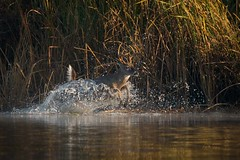 Water Feature (gseloff) Tags: whitetaileddeer buck swimming animal wildlife nature splash water reflection horsepenbayou pasadena texas kayak gseloff