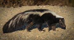 It Doesn't Stink (Don Dunning) Tags: california mammals skunk nationalwildliferefuge sacramentonwr mephitismephitis willows stripedskunk sonya7riv sonyfe200600mmf5663goss