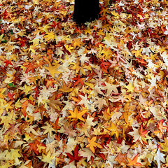 Every year (Robyn Hooz) Tags: novembre albero tree maple acero foglie leaves tronco trunk layer soil autunno autumn red rosso giallo yellow padova