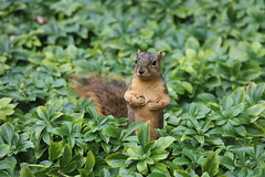 Juvenile and Adult Fox Squirrels on an Autumn Days in Ann Arbor at the University of Michigan - November 22nd and 26th, 2019 (cseeman) Tags: gobluesquirrels squirrels foxsquirrels easternfoxsquirrels michiganfoxsquirrels universityofmichiganfoxsquirrels annarbor michigan animal campus universityofmichigan umsquirrels11262019 autumn fall eating peanuts novemberumsquirrel juvenilesquirrels juvenilefoxsquirrels juveniles