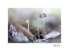 Chatting (g.femenias) Tags: mycena mycenaceae agarical mushroom nature naturallight macrophotography bonany petra mallorca