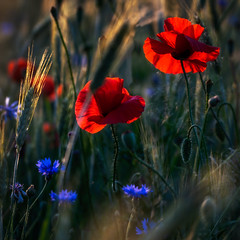 catching the sun - die Sonne eingefangen (ralfkai41) Tags: flowers nature getreide poppies outdoor natur corn backlit mohn field blüten kornblumen feld cornflowers blossoms gegenlicht blumen