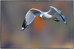 Ringed bill gull (RKop) Tags: eastforklake ohio raphaelkopanphotography nikon d500 600mmf4evr