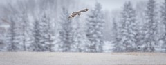 Under the radar (Tracey Rennie) Tags: hunting inflight shortearedowl snow owl winter trees archive