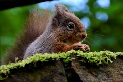 Up close (moniquerebanks) Tags: squirrel closeup closeupphotography rodent nature natureatitsbest nikond7100 redsquirrel outdoors cumbria lakedistrict countryside countryliving eekhoorn