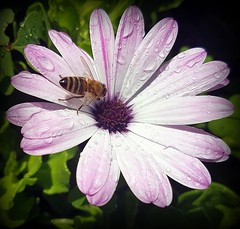 Worker in the rain (Ioannis Ks) Tags: flower osteospermum rain droplets autumn garden insect nature crete