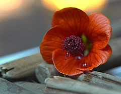 red flower (Slávka K) Tags: bokeh light 2019 nikon red flower drop wood stilllife styl macro closeup atmosphere day nice romantic