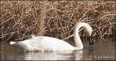 Swans 008 2017 watercolor filter (pixbykris) Tags: alaska alaskan birds swans beautiful